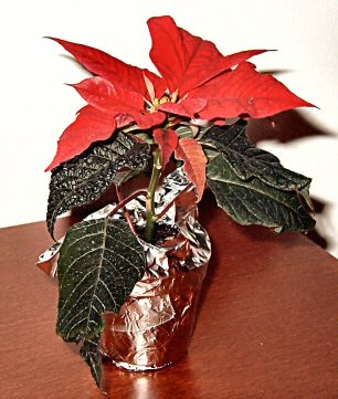 Löytyihän valokuvakokoelmistani sentään yksi joulutähden kuva vuodelta 2002