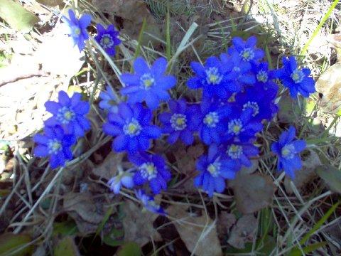 Sinisiä Kukkia